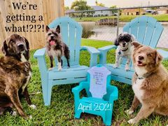 IVF pregnancy announcement with dogs
