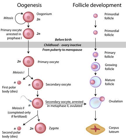 Process of oogenesis