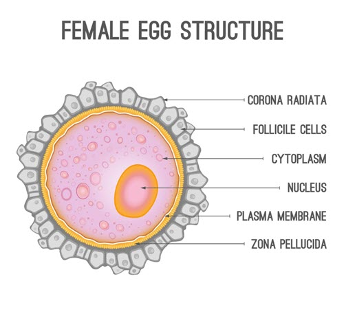 What is an Oocyte?