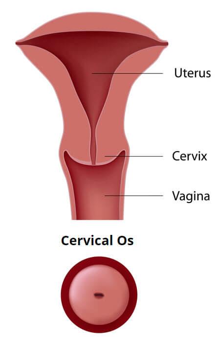 Cervical Os