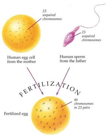 Egg Fertilization & PGT-A Embryo Testing